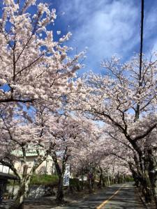 4:2-6桜並木